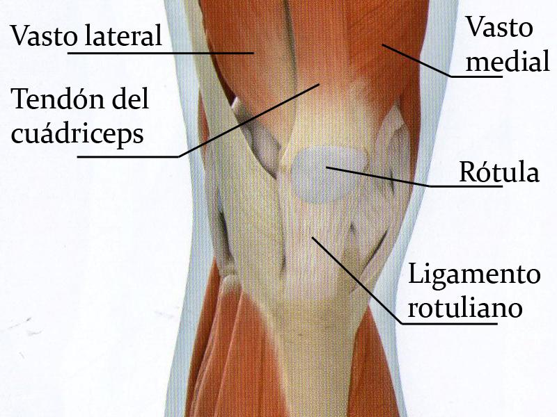 Ligamentos, tendones y músculos. Definición – Gimnasio HanRa